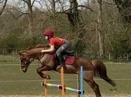 Beautiful 13.1hh Chestnut who loves to jump