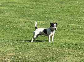 Proven Jack Russell Stud:George old fashion-short leg smooth coat kind nature