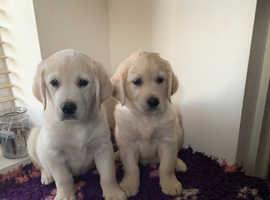 1 boy left kc reg golden retrievers puppies for sale