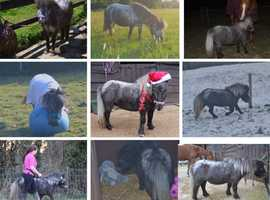 Beautiful 5 Year Old Mini Shetland Mare 8.1hh