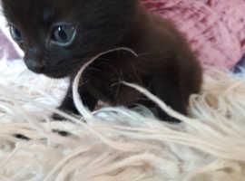 First cross british blue kittens
