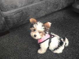 Litter of Biewer Yorkshire terrier pups