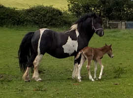13.2hh mare
