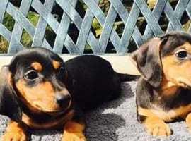 Gorgeous Jackadac (Jack Russel x Dachshund) Pups