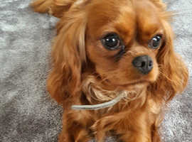 Ruby Red cavapoo babies expected 6
