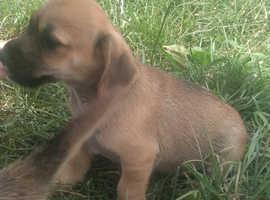 Jackchow cross border terrier e