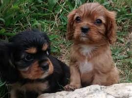 Stunning litter of cavalier king Charles puppies