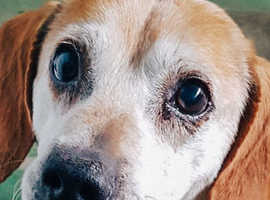 Beagle, Titi, 7 years old