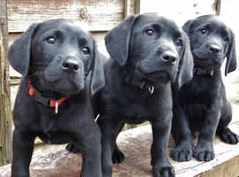 Black Labrador Puppies KC - Ready now