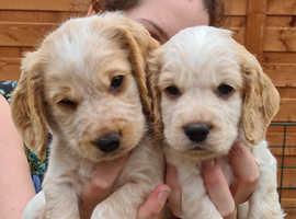2 Male Cocker Spaniel Puppies