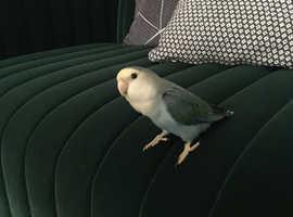 Hand tamed love bird