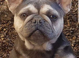 Stunning French bulldog STUD one not to be missed