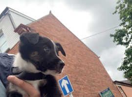 Tri collie female pup 8 weeks old full bred