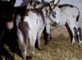 Baby donkeys for loving homes