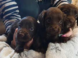 Beautiful cocker pups