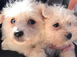 Westipoo puppys