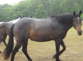 t.b with quarter shire, brood mare