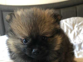 1 boy left Pomeranian