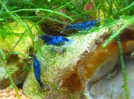Neocaridina davidi freshwater shrimp. Blue diamond.