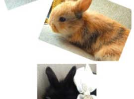 lionhead baby bunny/rabbits