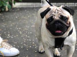 Handsome Pug For Stud 5 Generations