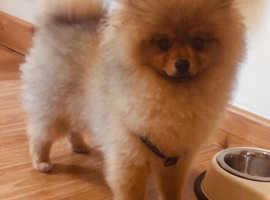 Lovely miniature Pomerania boy
