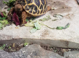 Indian star tortoise 10 months old