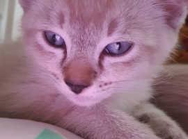 Tonkinese kittens (siamese x burmese)