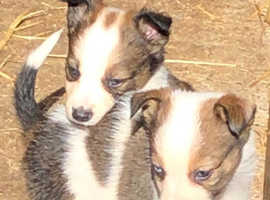 Collie x puppies