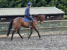 4yr old TB project sound and ready to go