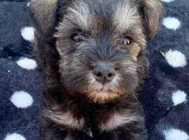 Miniature schnauzer puppies ...