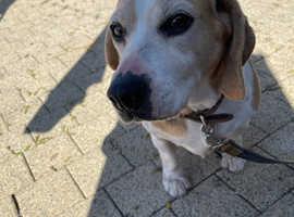 Beagle Girl For Sale