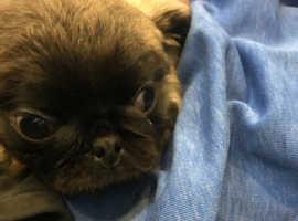 10 week old pug puppy