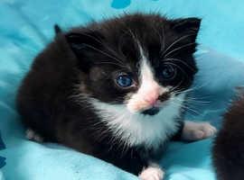 2 beautiful black and white kittens 1 male 1 female