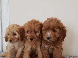 Cavapoo puppies DNA PRA clea
