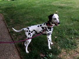 8 month old Boy dalmatian