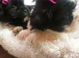 shihtzu cross bichon frises puppys
