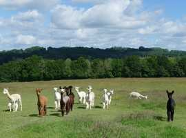 A group of 5 gorgeous male alpacas (the light coloured boys in this picture)