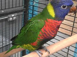 Hand reared rainbow lorikeets