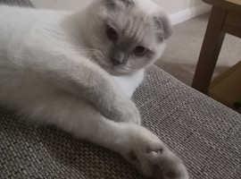 Scottish Fold blue point color cat