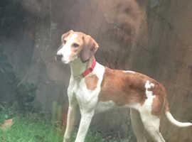 Bella beagle cross