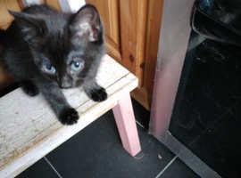 One female kitten left for sale