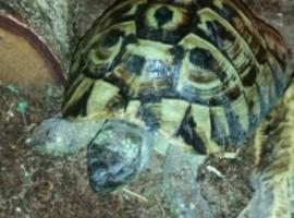 HERMANN tortoise AGE 8 male WITH A10 CERTIFICATE