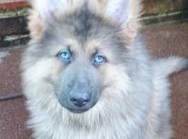 Beautiful Rare Blue Sable German Shepherd !!!! 12 weeks old