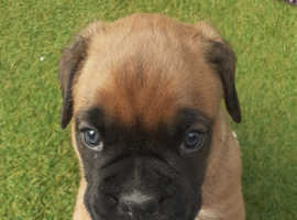 2  boxer puppies left for sale