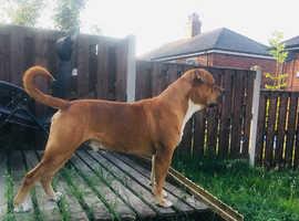 american bulldog x mastiff for stud job only