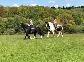 17 hh shire x cob 12 year old piebald steady neddy