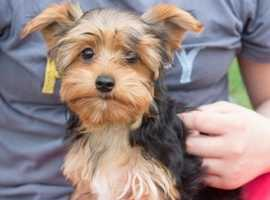 3month Old Yorkshire Terrier Girl & boy Ready
