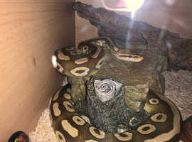 Pastel Mojave male python 4 years old