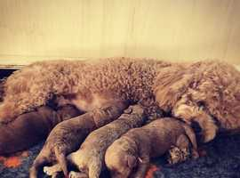 Four brown Poodle puppies